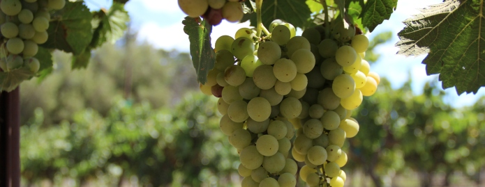 A bundle of grapes growing on a vine.